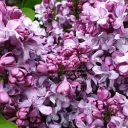 Сирень Эмиль Лемуан (Syringa vulgaris Emilie Lemoine) ФОТО Питомник растений Природа (17)