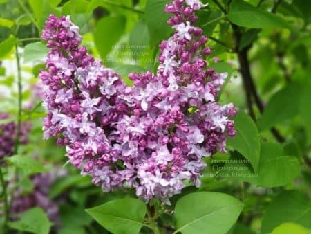 Сирень Эмиль Лемуан (Syringa vulgaris Emilie Lemoine) ФОТО Питомник растений Природа (19)