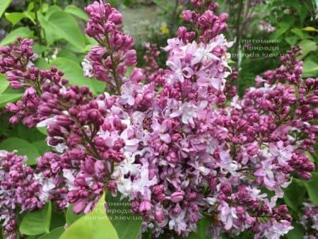 Сирень Эмиль Лемуан (Syringa vulgaris Emilie Lemoine) ФОТО Питомник растений Природа (6)