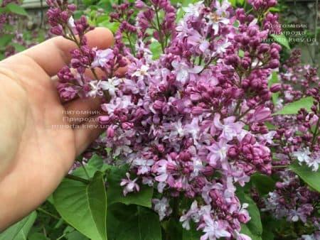 Сирень Эмиль Лемуан (Syringa vulgaris Emilie Lemoine) ФОТО Питомник растений Природа (7)