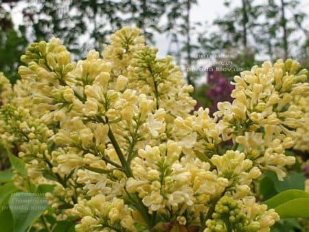 Сирень Праймроуз (Syringa vulgaris Primrose) ФОТО Питомник растений Природа (1)