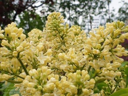 Сирень Праймроуз (Syringa vulgaris Primrose) ФОТО Питомник растений Природа