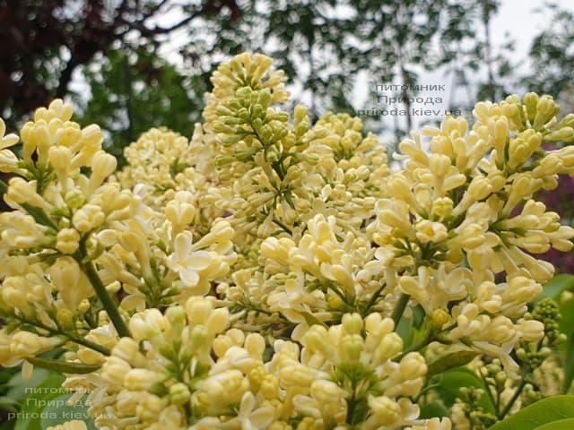 Сирень Праймроуз (Syringa vulgaris Primrose) ФОТО Питомник растений Природа (2)