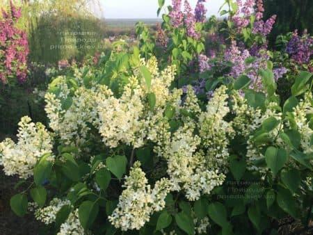 Сирень Праймроуз (Syringa vulgaris Primrose) ФОТО Питомник растений Природа (3)