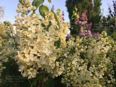 Сирень Праймроуз (Syringa vulgaris Primrose) ФОТО Питомник растений Природа (4)