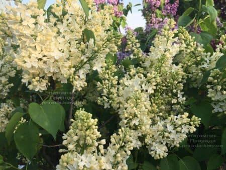 Сирень Праймроуз (Syringa vulgaris Primrose) ФОТО Питомник растений Природа (5)