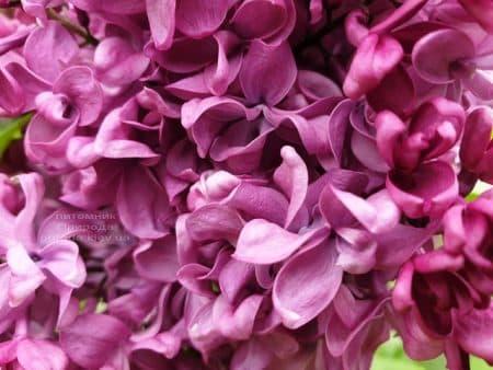 Сирень Президент Лубе (Syringa vulgaris President Loubet) ФОТО Питомник растений Природа (14)