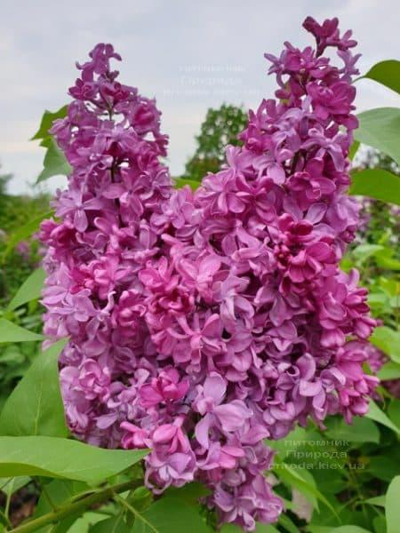 Сирень Президент Лубе (Syringa vulgaris President Loubet) ФОТО Питомник растений Природа (15)