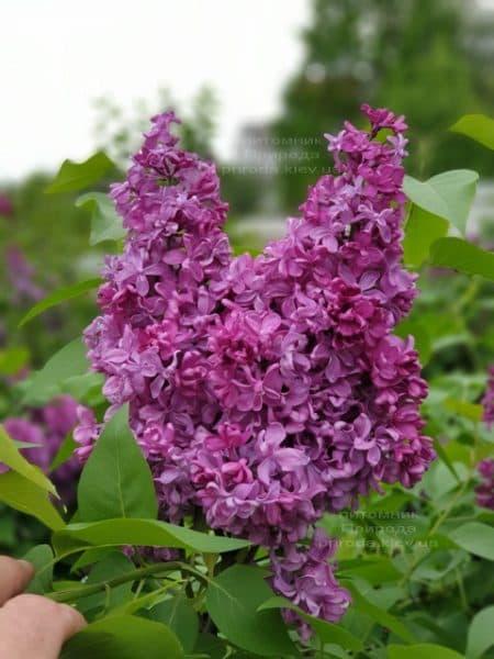 Сирень Президент Лубе (Syringa vulgaris President Loubet) ФОТО Питомник растений Природа (16)