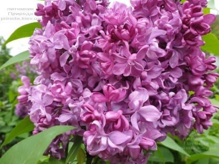 Сирень Президент Лубе (Syringa vulgaris President Loubet) ФОТО Питомник растений Природа (17)