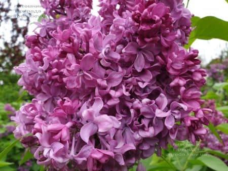 Сирень Президент Лубе (Syringa vulgaris President Loubet) ФОТО Питомник растений Природа (18)