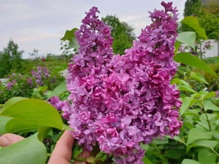 Сирень Президент Лубе (Syringa vulgaris President Loubet) ФОТО Питомник растений Природа (19)