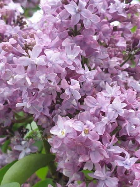 Сирень Президент Лубе (Syringa vulgaris President Loubet) ФОТО Питомник растений Природа (20)
