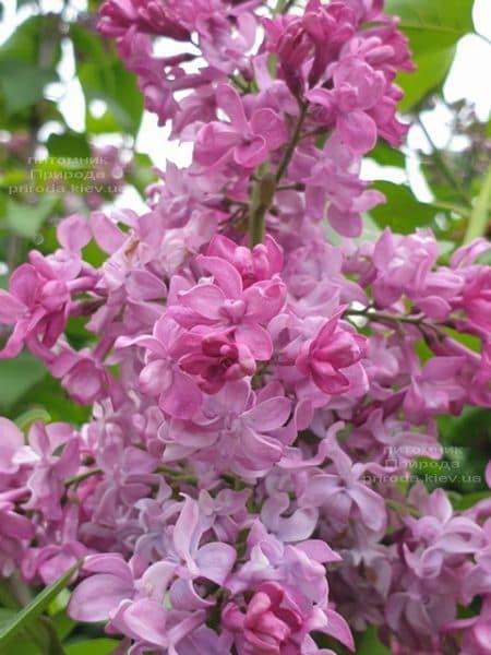 Сирень Президент Лубе (Syringa vulgaris President Loubet) ФОТО Питомник растений Природа (22)