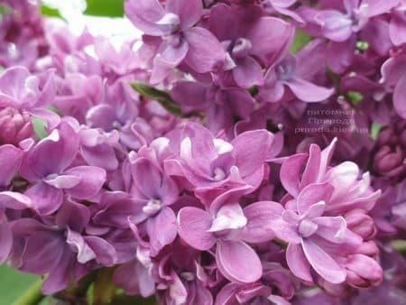 Сирень Президент Лубе (Syringa vulgaris President Loubet) ФОТО Питомник растений Природа (23)