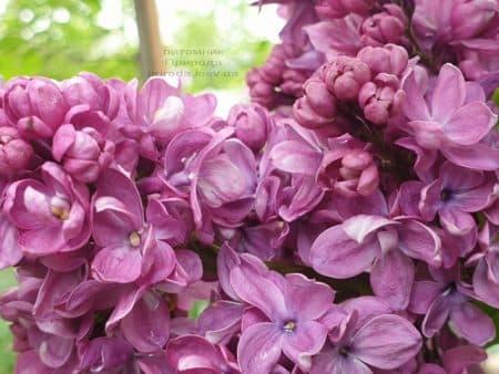 Сирень Президент Лубе (Syringa vulgaris President Loubet) ФОТО Питомник растений Природа (24)