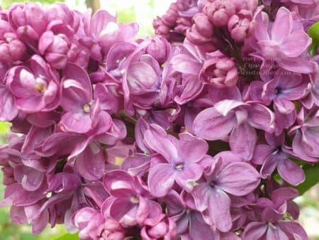 Сирень Президент Лубе (Syringa vulgaris President Loubet) ФОТО Питомник растений Природа (25)