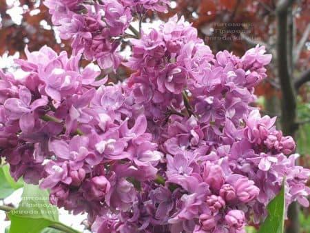 Сирень Президент Лубе (Syringa vulgaris President Loubet) ФОТО Питомник растений Природа (26)