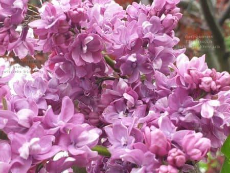 Сирень Президент Лубе (Syringa vulgaris President Loubet) ФОТО Питомник растений Природа (27)