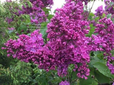 Бузок Реомюр (Syringa vulgaris Reomjur) ФОТО Розплідник рослин Природа (16)