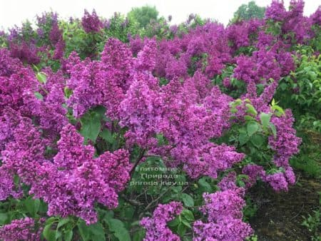 Сирень Реомюр (Syringa vulgaris Reomjur) ФОТО Питомник растений Природа (17)