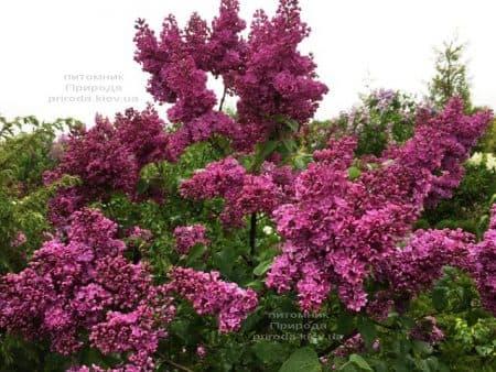 Сирень Реомюр (Syringa vulgaris Reomjur) ФОТО Питомник растений Природа (19)