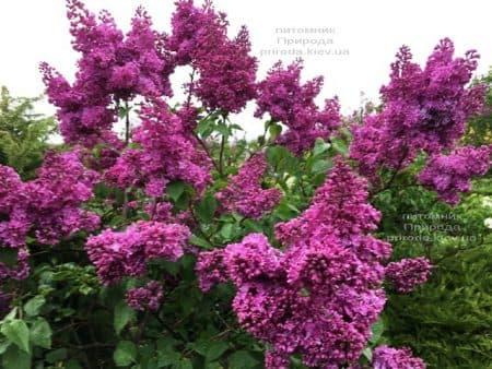 Сирень Реомюр (Syringa vulgaris Reomjur) ФОТО Питомник растений Природа (21)
