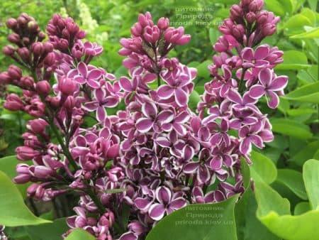 Сирень Сенсация (Syringa vulgaris Sensation) ФОТО Питомник растений Природа (13)