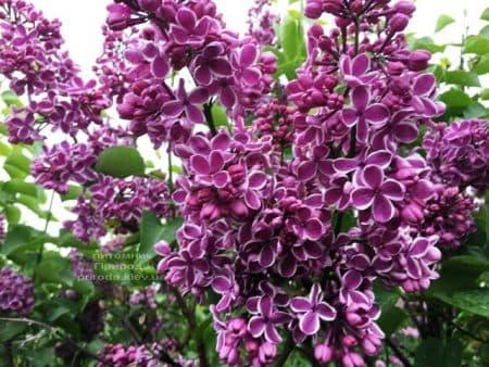 Сирень Сенсация (Syringa vulgaris Sensation) ФОТО Питомник растений Природа (14)