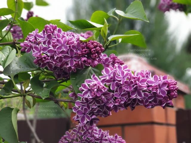 Сирень Сенсация (Syringa vulgaris Sensation) ФОТО Питомник растений Природа (15)