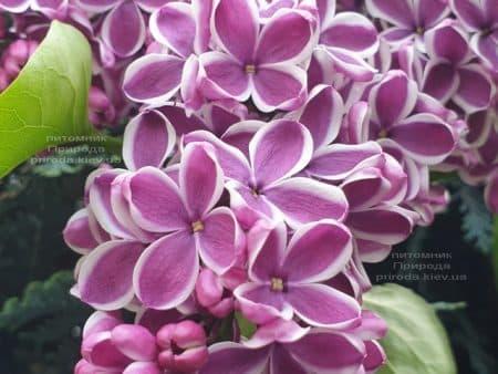 Сирень Сенсация (Syringa vulgaris Sensation) ФОТО Питомник растений Природа (18)