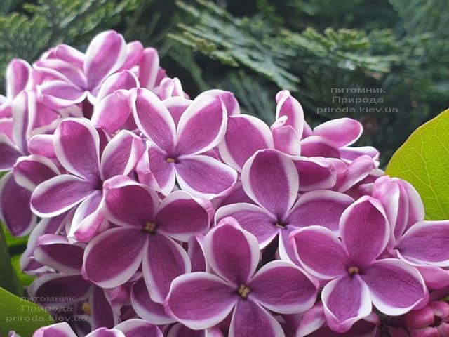 Сирень Сенсация (Syringa vulgaris Sensation) ФОТО Питомник растений Природа (19)