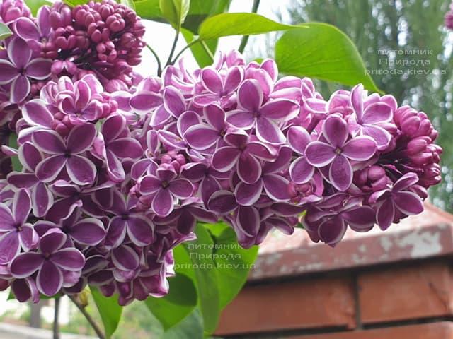 Сирень Сенсация (Syringa vulgaris Sensation) ФОТО Питомник растений Природа (20)