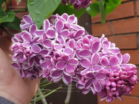 Сирень Сенсация (Syringa vulgaris Sensation) ФОТО Питомник растений Природа (21)