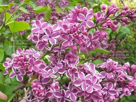 Сирень Сенсация (Syringa vulgaris Sensation) ФОТО Питомник растений Природа (22)