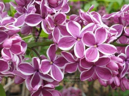 Сирень Сенсация (Syringa vulgaris Sensation) ФОТО Питомник растений Природа (23)