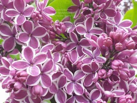 Сирень Сенсация (Syringa vulgaris Sensation) ФОТО Питомник растений Природа (25)