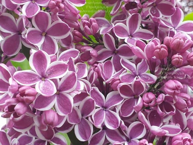 Сирень Сенсация (Syringa vulgaris Sensation) ФОТО Питомник растений Природа (26)