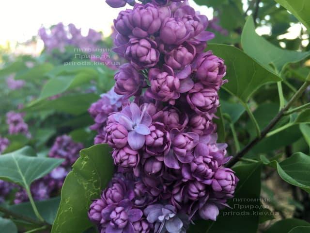 Сирень Тарас Бульба (Syringa vulgaris Taras Bulba) ФОТО Питомник растений Природа (10)