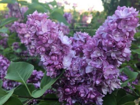 Сирень Тарас Бульба (Syringa vulgaris Taras Bulba) ФОТО Питомник растений Природа (11)