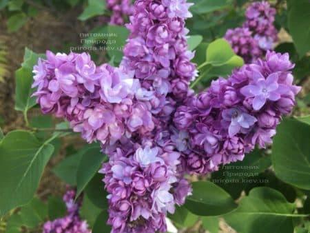 Сирень Тарас Бульба (Syringa vulgaris Taras Bulba) ФОТО Питомник растений Природа (8)