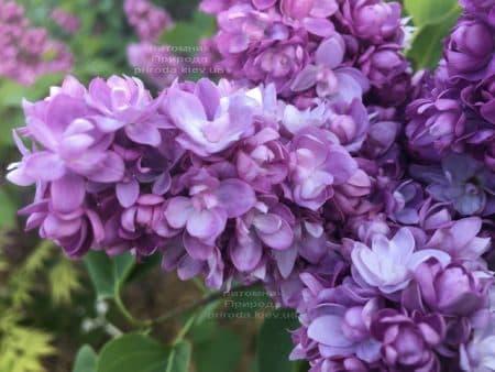Сирень Тарас Бульба (Syringa vulgaris Taras Bulba) ФОТО Питомник растений Природа (9)