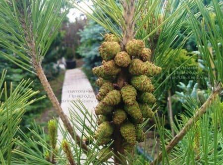 Сосна густоцветковая Умбракулифера (Pinus densiflora Umbraculifera) ФОТО Питомник растений Природа (13)