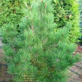 Сосна густоцветковий Умбракуліфера (Pinus densiflora Umbraculifera) ФОТО Розплідник рослин Природа (2)