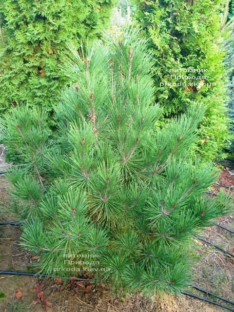 Сосна густоцветковая Умбракулифера (Pinus densiflora Umbraculifera) ФОТО Питомник растений Природа (2)