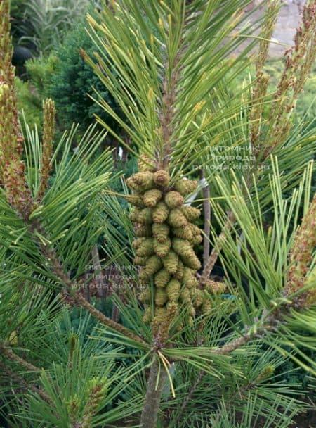 Сосна густоцветковая Умбракулифера (Pinus densiflora Umbraculifera) ФОТО Питомник растений Природа (6)