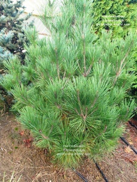 Сосна густоцветковая Умбракулифера (Pinus densiflora Umbraculifera) ФОТО Питомник растений Природа (7)