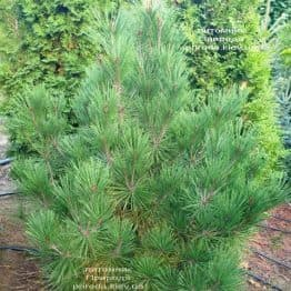 Сосна густоцветковий Умбракуліфера (Pinus densiflora Umbraculifera) ФОТО Розплідник рослин Природа (8)