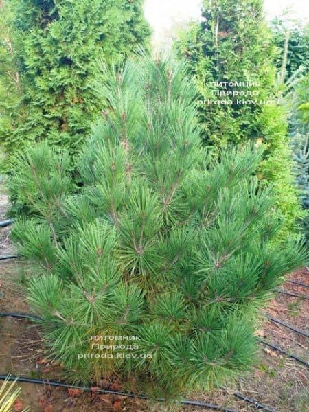 Сосна густоцветковая Умбракулифера (Pinus densiflora Umbraculifera) ФОТО Питомник растений Природа (8)
