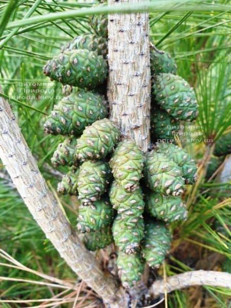 Сосна густоцветковая Умбракулифера (Pinus densiflora Umbraculifera) ФОТО Питомник растений Природа (9)